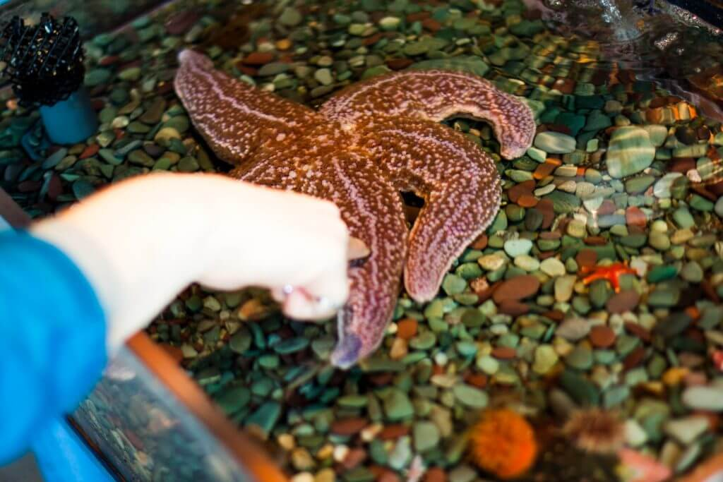 A child touching a starfish in a tank at the Petty Harbour Mini Aquarium
