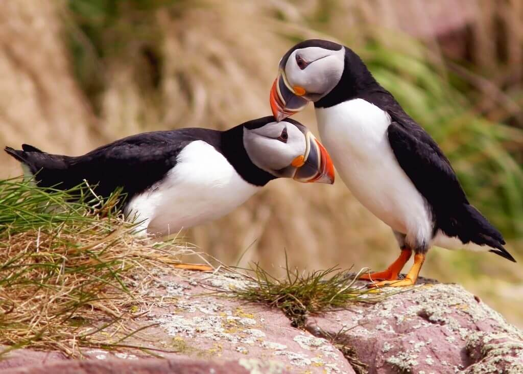 two atlantic puffins grooming each other