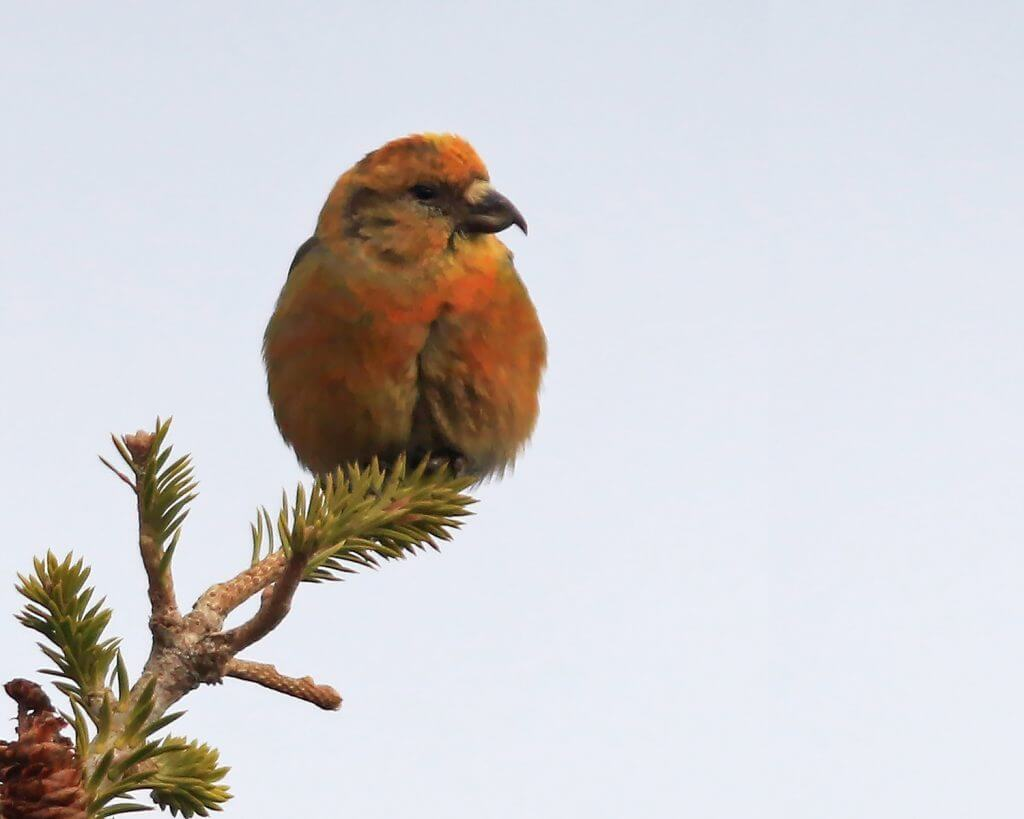 Red Crossbill on the tip of a tree branch